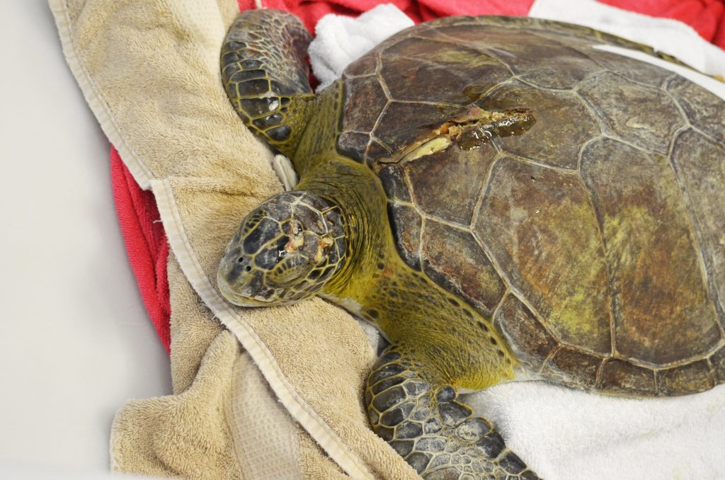 Balboa, the current green sea turtle patient with a boat strike injury